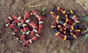 A comparison between a milk snake (left) and coral snake (right).  Image source:  West Texas Herpetological Society