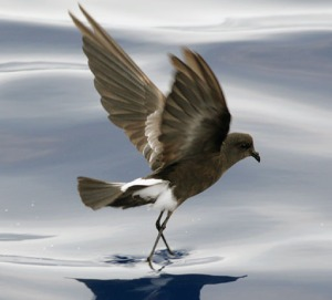 A Wilson's storm petrel. Note how ridiculously thin the legs are - they have trouble supporting the bird's weight on land. Photo by Patrick Coin.