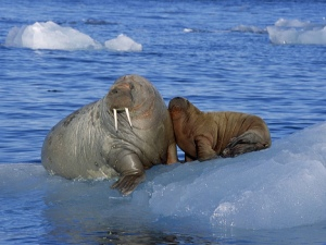 A mother walrus with her little baby. Little here is used relatively, as baby walruses can weigh up to 165 pounds. Image source:  flickkerphotos/Flickr