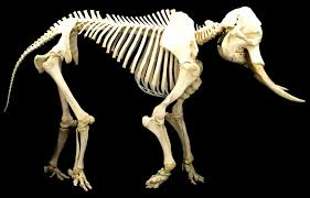 Elephant skeleton