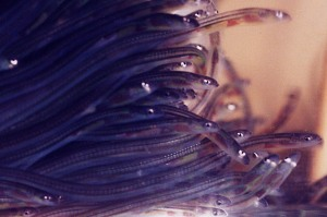 A whole bunch of glass eels. If you look closely, you can see the hearts of these little guys.  Image source: Wikipedia