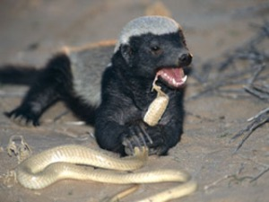 A honey badger munching happily on a (probably venomous) snake.