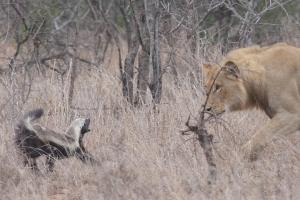 A fantastic shot of a honey badger facing down a lion. Image credit: Bennie van Zyl