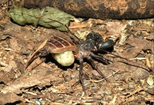 A female vinegaroon holding her egg sac off the ground.  Source: Wikipedia