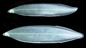 An example of eel Leptocephali - these are Australian eels, but European ell larvae look very similar.  Image source: Michael Miller