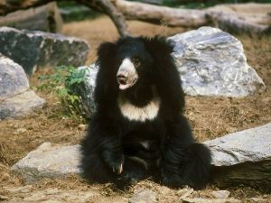 A sloth bear sitting funnily.  Source: Zigmund Leszczynski/National Geographic