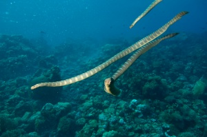 A group of sea snakes. These animals are often found in groups of a dozen or more snakes.  Source: http://divehappy.com/indonesia/manuk-the-other-island-of-the-sea-snakes/
