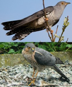 A comparison of a cuckoo (top) and sparrowhawk (bottom) Source: Wikipedia