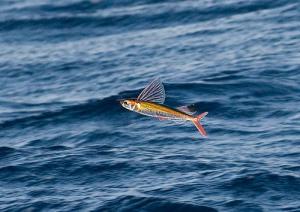A very colourful flying fish in the air.  Source: http://web.engr.illinois.edu/~li151/cs498dh3/proj3/fish.jpg