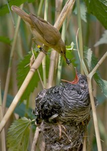 A European reed warbler feeds a cuckoo chick. The size difference blows my mind.  Image Credit: Harald Olsen