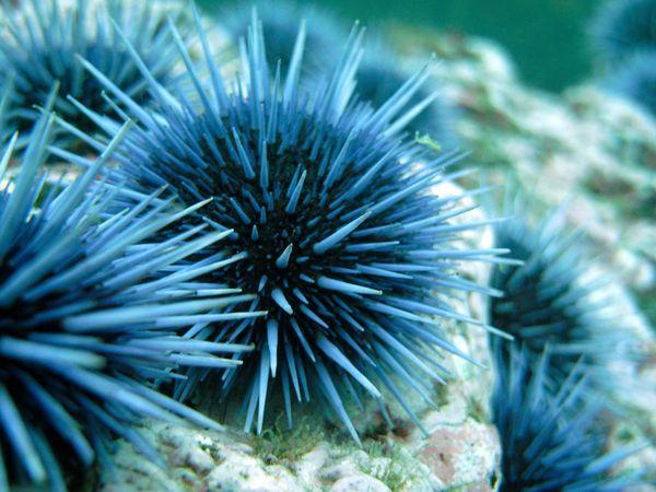 sea urchin class echinoidea � our wild world