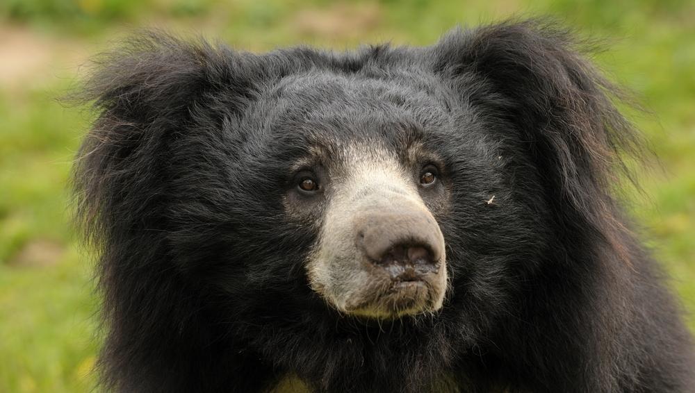 Bear, sloth