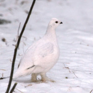 A willow ptarmigan in winter pelage. notice the feathered feet which help keep the bird warm and help it move through snow.  Source: http://polaranimals.pbworks.com/f/1242413574/2125246513_dd9e0eb644.jpg