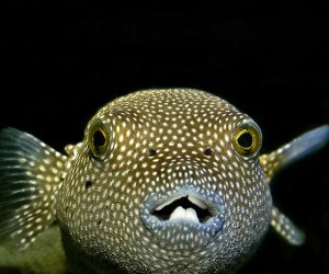A close up of a pufferfish's teeth, which are fused into a beak-like structure.  Source: http://creationrevolution.com/beak-careful-variation-may-be-non-darwinian/