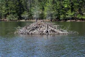 A beaver lodge in a lake.  Source: http://www.toledo-bend.us/index.asp?beaver