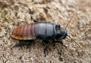 A male Madagascar hissing cockroach. They can be differentiated from females by the large bumps on their head.  Source: http://insectexpertphd.com/cockroaches.aspx