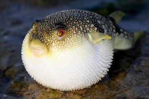 A blown-up pufferfish. Pretty strange looking, right? Source: http://www.gambassa.com/public/project/2103/SarahClover'sNotableSpecies.html