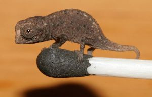Some species of chameleon are really small - like this one from Madagascar. This is a juvenile, but the species maybe one of the smallest reptiles in the world.  Photo credit: Frank Glaw