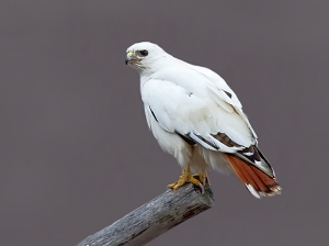 white-redtail-hawk-04121tomsayer