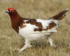 A male willow ptarmigan, looking flashy with his red eyebrows.  Photo credit: Glenn Bartley