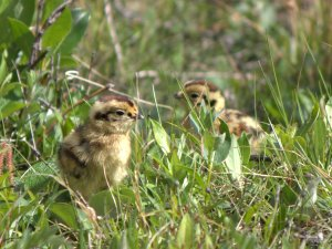 Adorable ptarmigan chicks.  Source: wikipedia