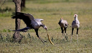 Secretary birds are famous for eating snakes, as seen here. They stop on snake's back to break their neck, and some reports even have them dropping snakes from great heights to kill them (these are unproven). And in spite of  popular myth, secretary birds don't actually eat snakes all that much.  Image Credit: Francesco Veronesi