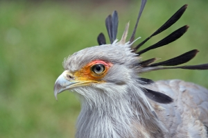 Secretary birds earned their names from the black feathers on their head, which resemble things secretaries used to wear (apparently).  Source: http://www.itsnature.org/ground/birds-land/secretary-bird/