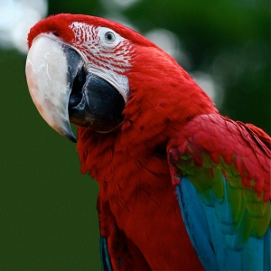 A close-up of a red and green macaw showing the tell-tale red stripes around the eyes.  Source: Wikipedia