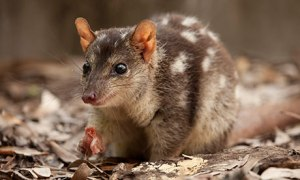 A northern quoll. I was going to put a picture of a quoll pouch with young in it, but those look kind of gross, so you can look it up if you like.  Source: http://www.theguardian.com/world/2013/jul/15/endangered-species-floating-carbon-price