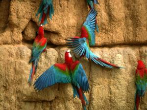 Some red and green macaws enjoying a clay lick.  Credit: Nick Athanas