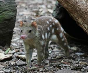 A tiger quoll. They have learned to be semi-arboreal, and it is not rare to see them in trees.