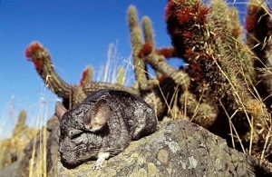 A chinchilla in its natural habitat, looking puffy and content.  Source:http://www.fanpop.com/clubs/chinchilla/images/13105926/title/wild-chinchillas-photo