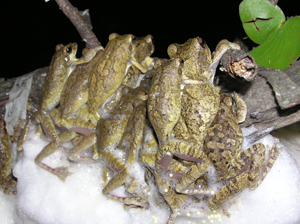 A bunch of foam-nest frogs having a great time on a tree branch, making a nest.  Image credit: Philip Byrne