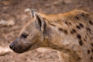 The head and neck of a spotted hyena - notice the thick, short neck and strong jaws.  Source: Wikipedia
