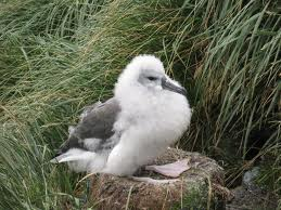 A grey-headed albatross chick, looking furry and cozy.  Source: Wikipedia