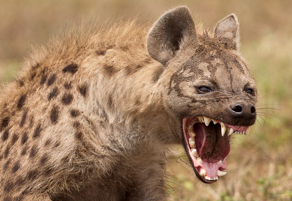 Laughing Hyena  Our Wild World-2215