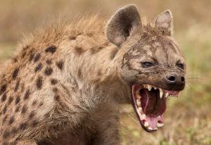 hyena-photograph