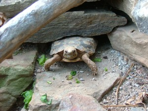 A pancake tortoise happily staying near a rock crevice.  Source: clubfauna.com