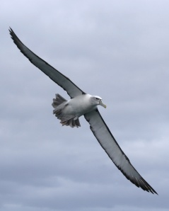 A shy albatross flying, showing its long, thin wings specially designed for gliding.  Source: Wikipedia