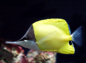 A yellow longnose butterflyfish with predator fooling markings. Its long jaws are used to grab food from nooks and crannies.  Photo credit: http://www.educationalresource.info/tropical-marine-fish/54-yellow-longnose-butterflyfish.htm