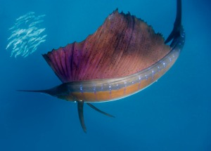 A beautiful picture of a sailfish showing off it's giant dorsal fin.  Source: http://fishidentificationblog.blogspot.ca/2012/12/sailfishatlantic-sailfishindo-pacific.html