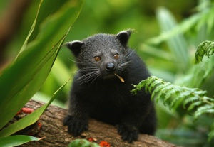 An absolutely adorable baby binturong.  Photo credit Cameron Spencer/Getty Images via National Geographic