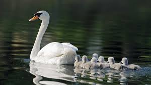 A pen (female swan) with her cygnets (baby swans). Male swans are known as cobs.  Image source: http://www.freegreatpicture.com/cat/photo-16155