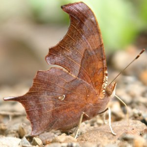 A view of the 'question mark' on the underside of the butterfly's wings. Apparently there's also a butterfly the comma butterfly, which looks like the question mark except the white marking is a comma. How strange.  Image source: www.naba.org