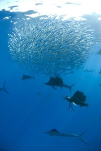 A group of sailfish hunting a school of fish.  Image credit: EcoColours