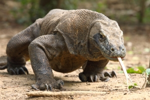 The fearsome Komodo dragon.