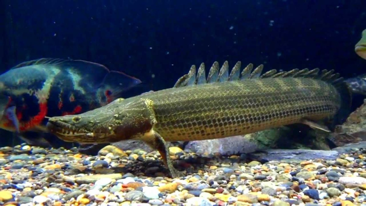 Bichir (family Polypteridae) Our Wild World