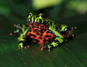 A nice picture showing off the fire-bellied toad's bright colouring.  Source: http://www.reptilecentre.com/files_care-sheet-fire-bellied-toad