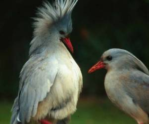 A picture showing a kagu with its crest erect.  Source: hdpicss.com