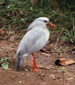 Kagus are patient hunters, often standing for hours waiting to find food.  Image source: Wikipedia